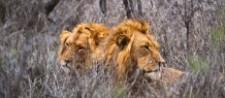 lions sa